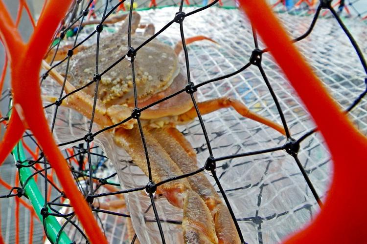 Tanner crab that have molted1.jpg