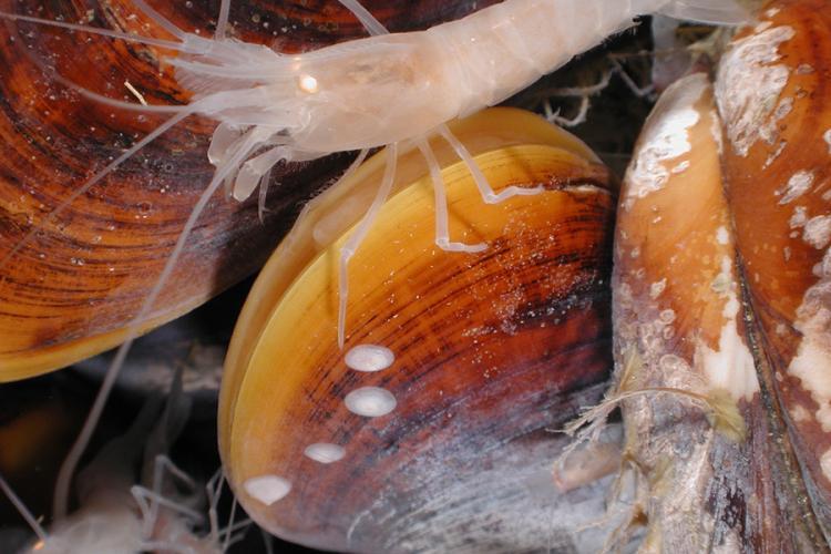white-shrimp-NOAA-OE.jpg