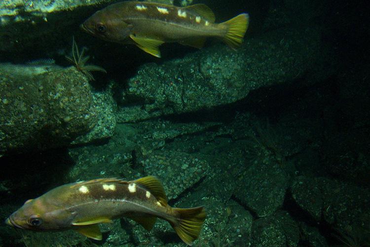 yellowtail-rockfish-NOAA-CBNMS.jpg