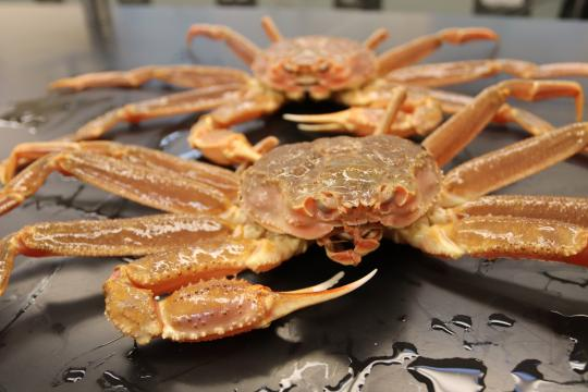 Photo of a pair of Bering Sea snow crabs on a lab table.
