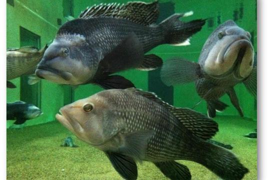 black sea bass swim in very large research aquarium