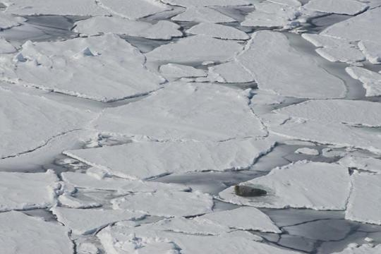 A bearded seal rests on ice in the Bering Sea. NOAA/Cameron