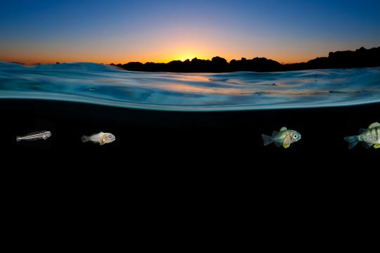 Surface sunset damsel larval stages