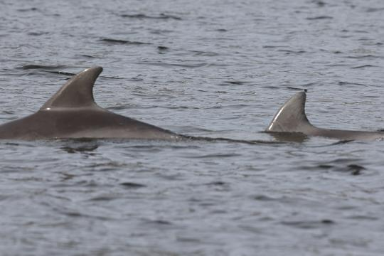 close up of two dolphin dorsal fins in gray river