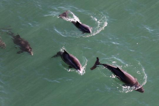 Aerial image of harbor porpoises swimming