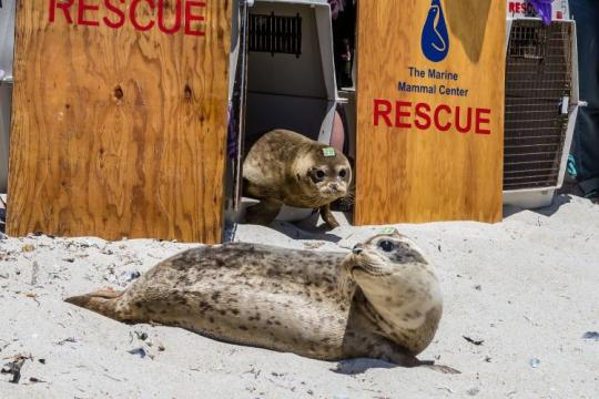 Photo of harbor seals being released following rehabilitation at The Marine Mammal Center, California.