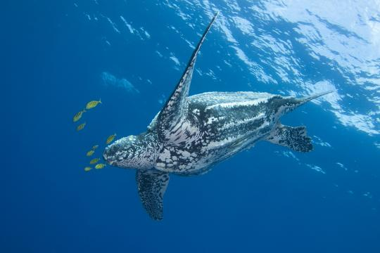 Large black and white sea turtle swims in the blue ocean with yellow and black striped fish