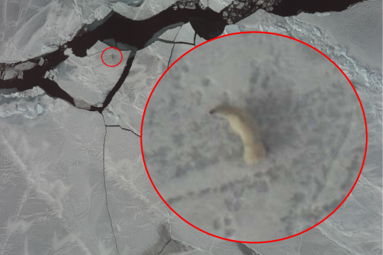 Aerial photo of a polar bear on sea ice with a superimposed enlarged image.
