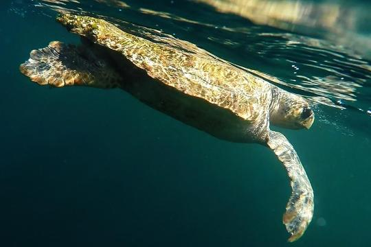 Loggerhead turtle as seen from in the water.