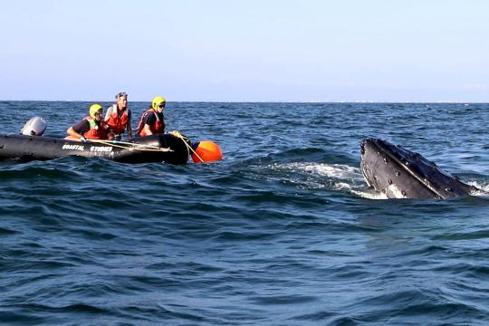 Crew on zodiac attempting to dinentagle a humpback whale off the coast of New York