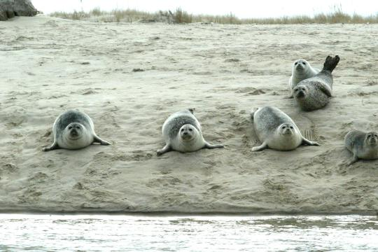 Harbor seals near the water on the beach in Chatham, Ma.