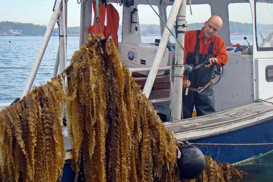 Sugar kelp being harvested, strings of kelp being pulled from water.