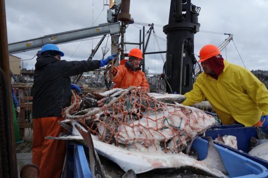 3888x2592-workers-unload-halibut-kodiak-AKRO.jpg