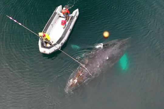 Entangled whale and rescue crew as seen from above.