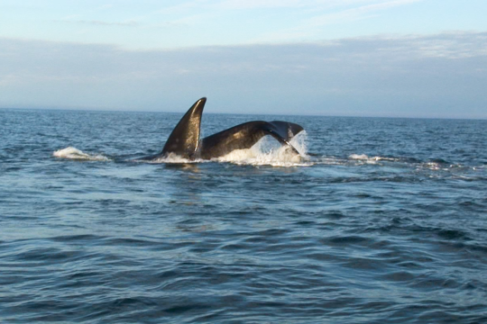 North Atlantic right whale diving.