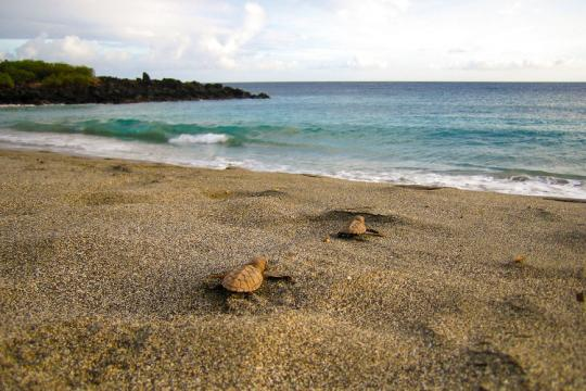 Hawksbill hatchlings making their way to the ocean.