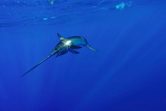 750x500_Swordfish swimming alone_Shuterstock_Joe Flynn.jpg