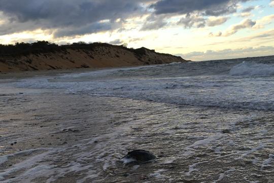 Kemp's ridley sea turtle on the beach.