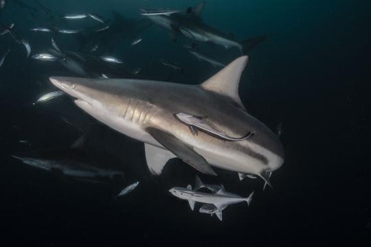 Shark And Remora Fish