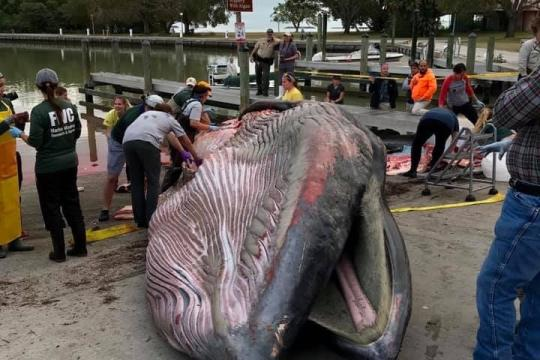 Bryde's whale in Everglades.jpg