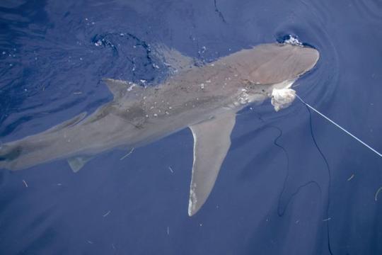 hooked_sharks01.jpg