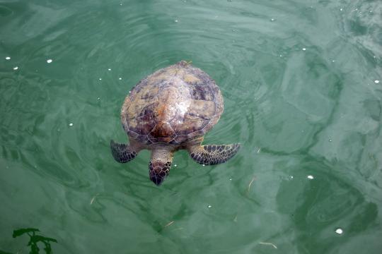 Sea turtle in green water.