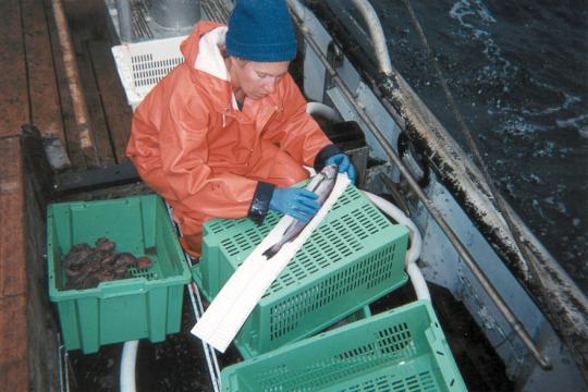 Observer measuring fish length on deck.jpg