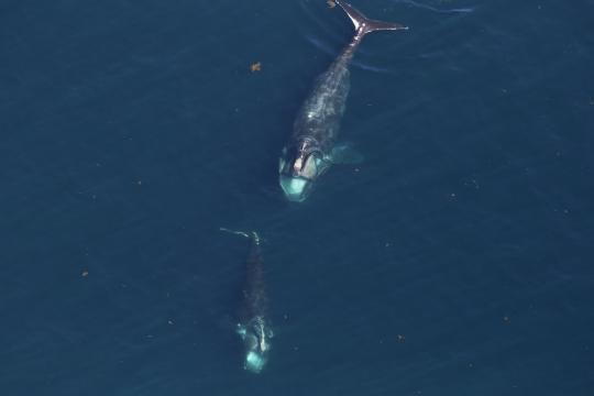 2 Right whales from above.