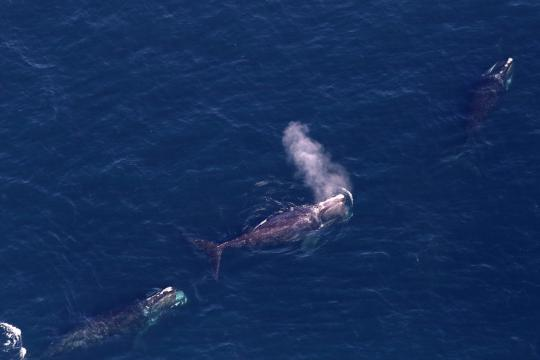 right-whales-leah-crowe-permit-17355.jpg