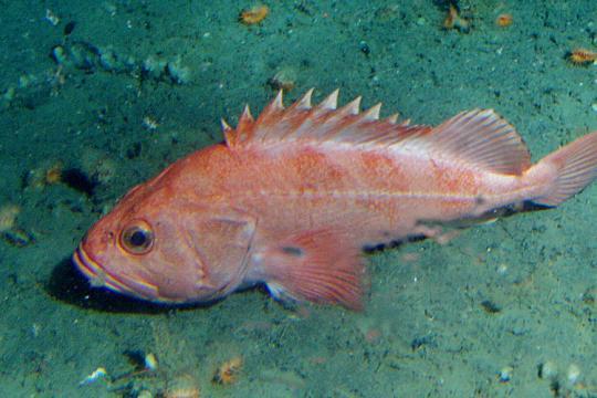 Rockfish-thumb.jpg