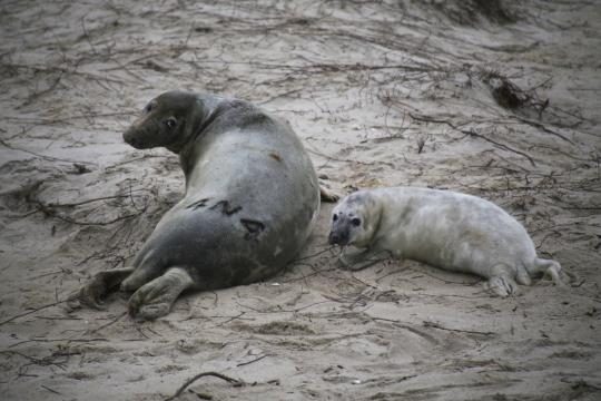 Mom and seal pup on the beach. Mom has been branded for identification.