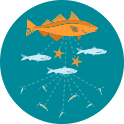 The icon for fish stomachs shows the orange haddock illustration above a network of light dotted lines connecting to small blue Atlantic herring and orange starfish; the herring is then connected to orange copepods and larval shrimp, to indicate predator-prey interactions in the food web.