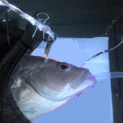 Black sea bass undergoes a hearing test.