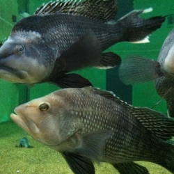 Black sea bass in tank