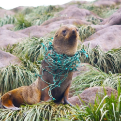 Seal entangled in plastic net.