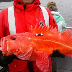 Figure 6 shows a Yelloweye rockfish externally tagged with an acoustic transmitter at the base on the fish's dorsal fin.
