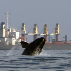 A North Atlantic right whale breaching with a large ship in the background.