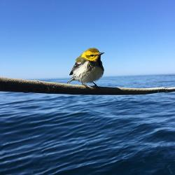A black throated green warbler paid a visit to the ship