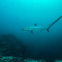 Thresher shark swimming