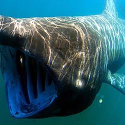 Basking shark swimming toward camera