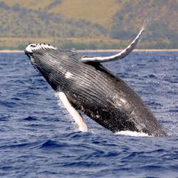 1280x800-humpback-whale-noaa.jpg