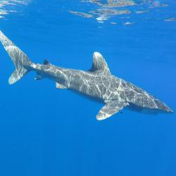 1280x800-oceanic-whitetip-shark-JeffKneebone.jpg