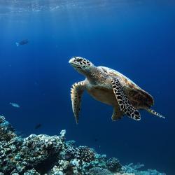 1280x800-sea-turtle-on-reef-shutterstock.jpg