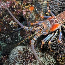 1280x800-spiny-lobster.jpg