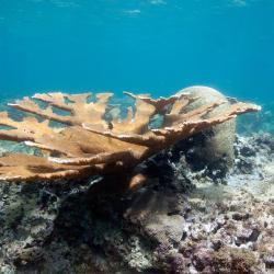 1280x800_Elkhorn_coral_NOAA_SERO.jpg
