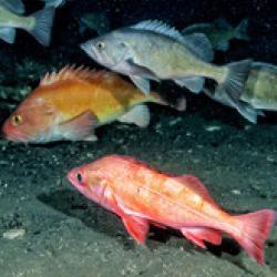 Groundfish Assessment Program-bio.jpg