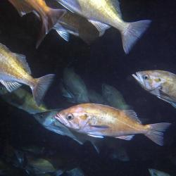 A school of widow rockfish in Soquel Canyon, Monterey Bay