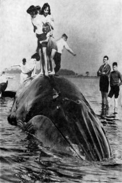 Bryde's whale that stranded in Florida in 1965. Associated Press wire photo published by a Seattle newspaper.