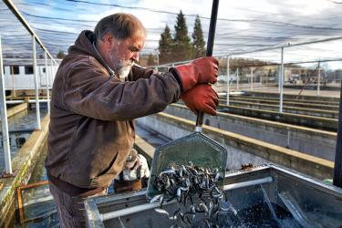 Man holds hand net of small fish and is putting them into a tank.