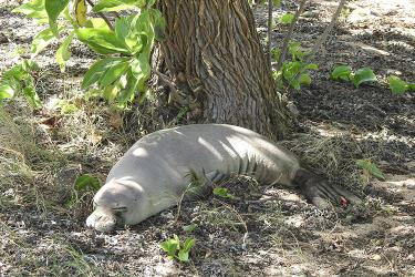 Monk seal resting near a tree during high tide.